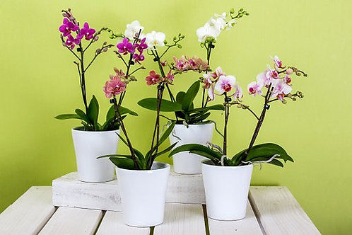 Orquidea phalaenopsis en maceta de cerámica . Elegir color.