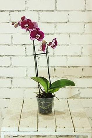 Phalaenopsis sin arreglo decorativo. Elegir color.