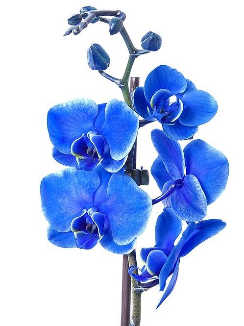 Phalaenopsis azul.
