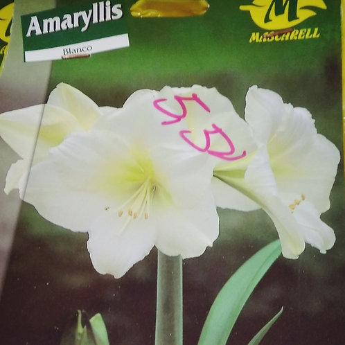 Amaryllis en bolsa