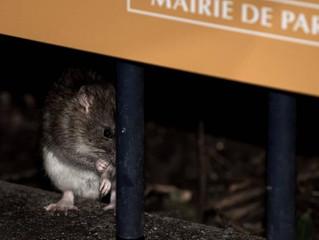 La ville de Paris met le paquet pour sa nouvelle arme anti-rats