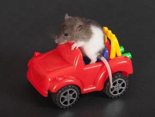 Des rongeurs friands de... voitures!