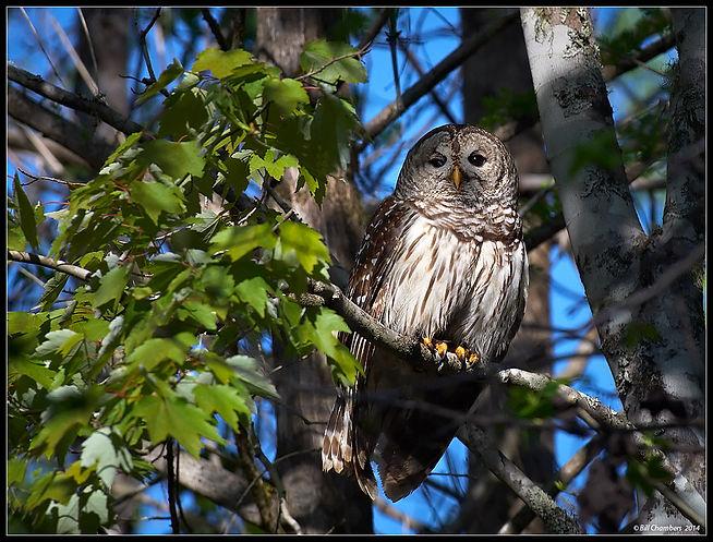 B516 - Barred Owl - 1100.jpg