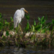 B485 - Great Egret - 300x300.jpg