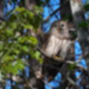 B516 - Barred Owl - 300x300.jpg
