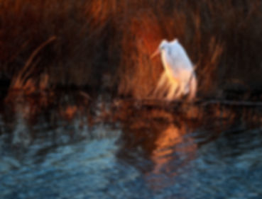 Egret at Last Light -_1FX6865 - 2400.jpg