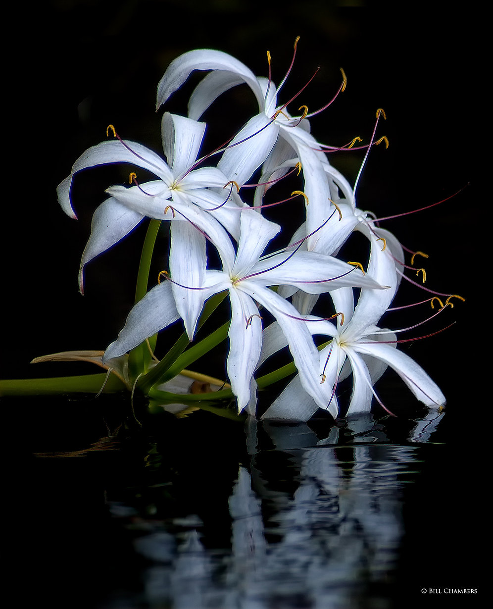 F59a- - Swamp Lily - NIK - 2000.jpg