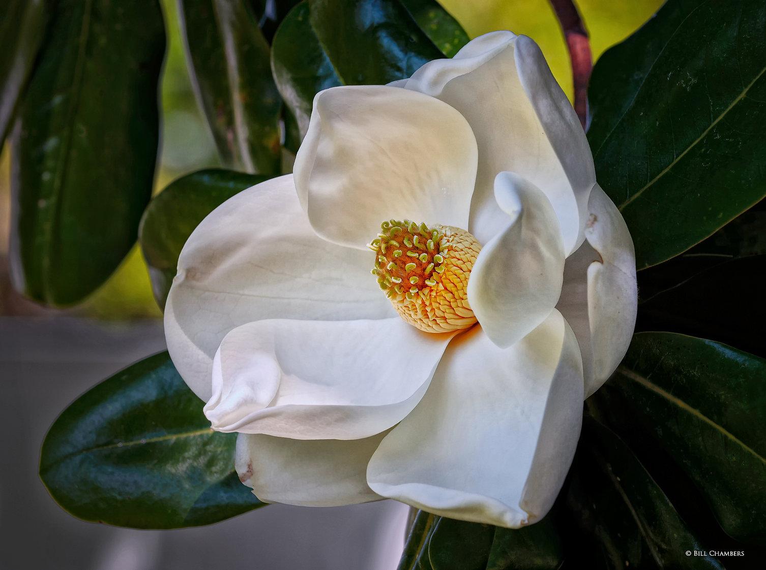 F83 - Magnolia Bloom - 2400.jpg