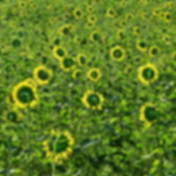 _1fX3744-48 - Sunflower Field - NIK - sh