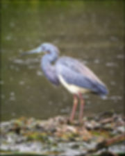 _1FX2272 - Tri-colored Heron in rain - N