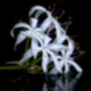 F59a- - Swamp Lily - NIK - 300x300.jpg