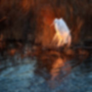 Egret at Last Light -_1FX6865 5 - NIK -