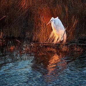 Egret at Last Light -_1FX6865 5 - NIK -