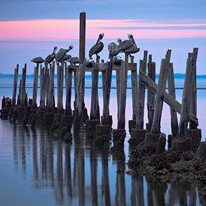 B286 - Pelicans on pilings - 300x300.jpg
