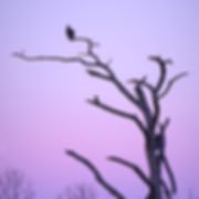 B382 - Osprey on Cold Morning - 300x300.