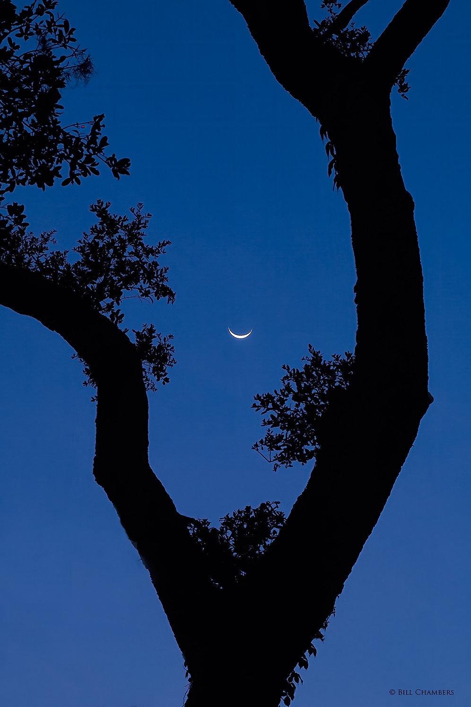 Ls115 - Crescent moon thru tree - NIK -