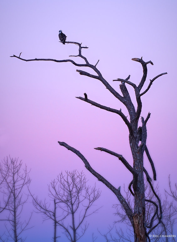 B382 - Osprey on Cold Morning - 2000.jpg
