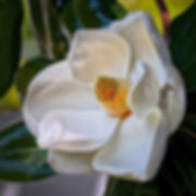 F83 - Magnolia Bloom - 300x300.jpg