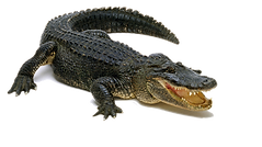Crocodile-PNG-Download-Image.png