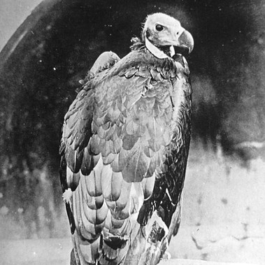 L'avvoltoio indiano