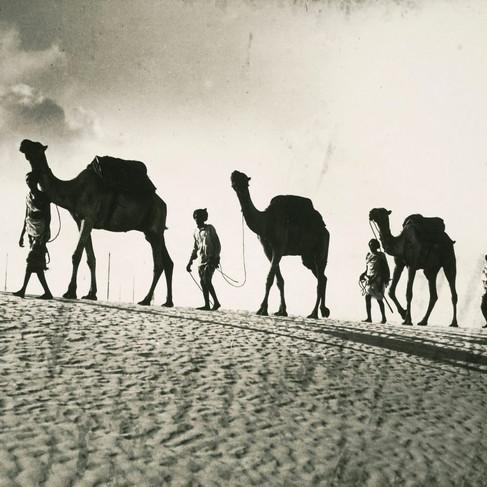 I cammelli provenienti dall'interno arrivano attraverso la duna