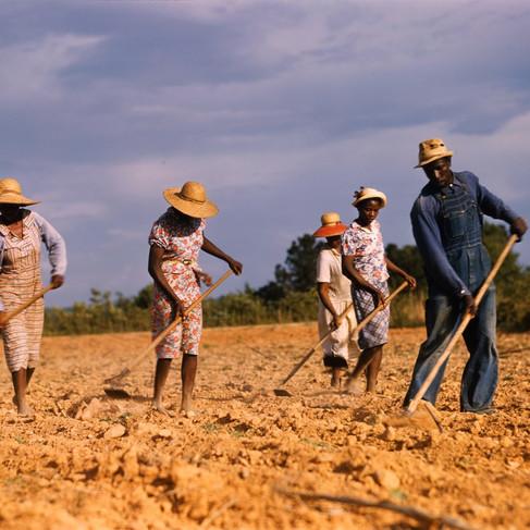 Contadini arano un campo di cotone