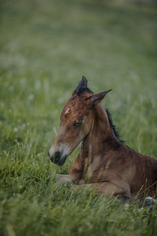 Imperial Kings Stables, Horses for Sale Foal