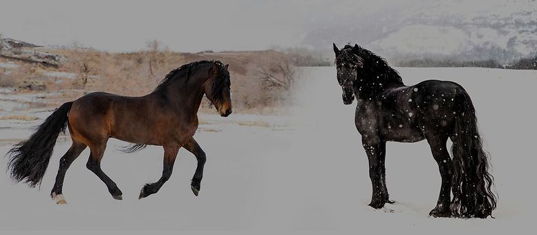 Titan the Warlander Stallion and Friesian STER stallion Legend at stud in Utah. Imperial Kings Stables.