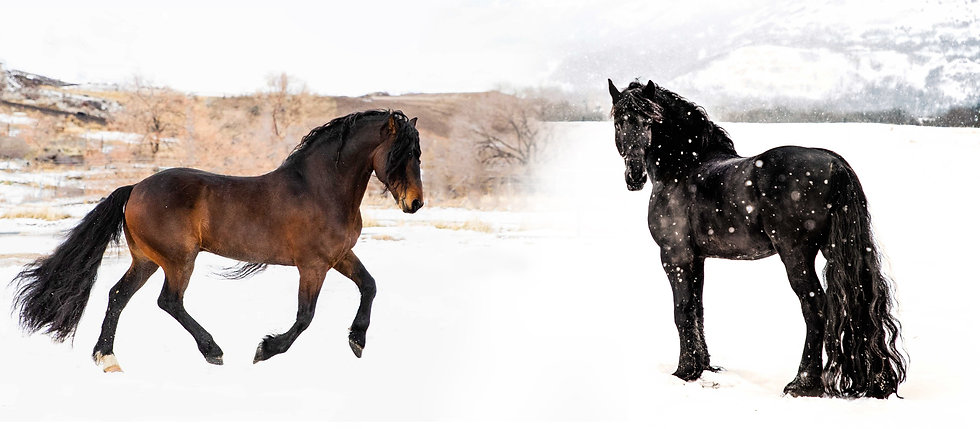 Imperial Kings Stables STER Friesian Stallion at Stud. Titan the Warlander Stallion running in the snow
