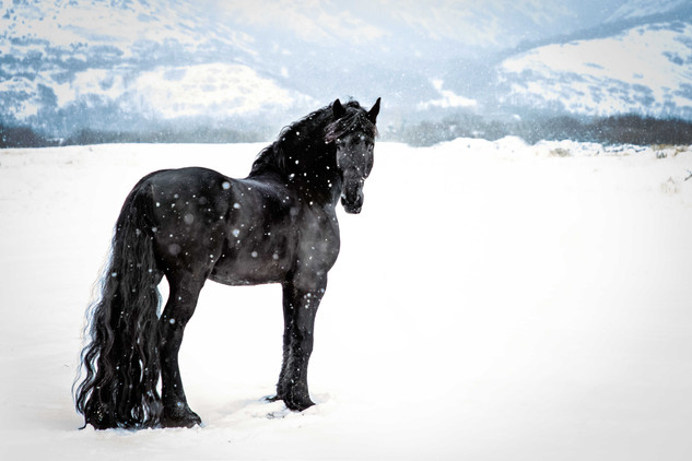 Legend STER Friesian Stallion at stud in Utah. Stallion at Imperial Kings Stables. Friesian in snow. Equine Photography