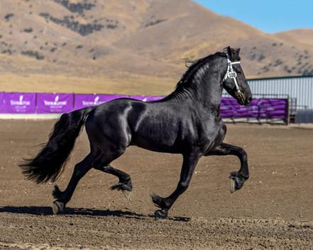 Legend Ster Stallion at Keuring