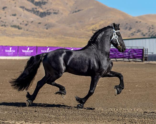 Legend STER Friesian Stallion at stud in Utah. Imperial Kings Stables