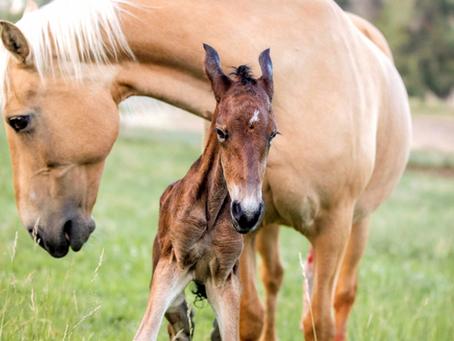 Moriesian Foal Jasper