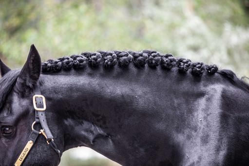 Legend Friesian Stallion Rosetts
