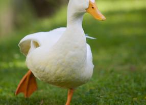 Intensiva Quack Quack!