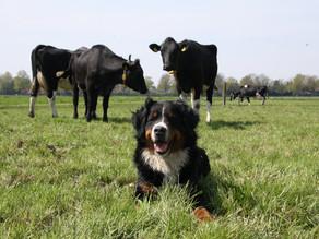 Neospora, de overdraagbare ziekte van hond naar koe.