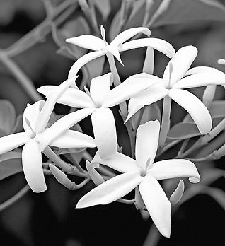 Kew garden jasmine_bw2.jpg