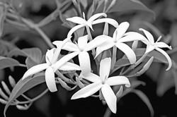 Kew garden jasmine_bw2