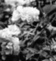 Desert rose_bw 2.jpg