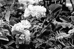 Desert rose_bw 2