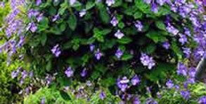 Streptocarpus saxorum - Spiraalvrucht