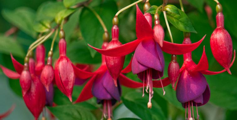 Fuchsia - Bellenplant