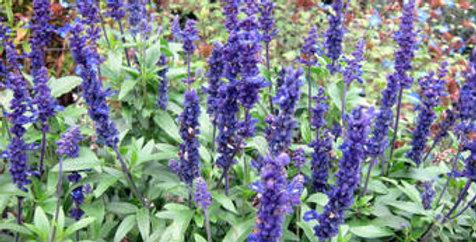 Salvia farinacea - Meelsalie