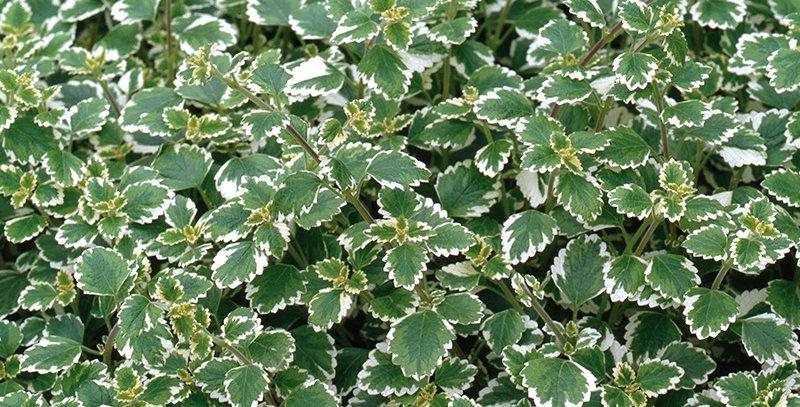 Plectranthus coleoides - Mottenplant