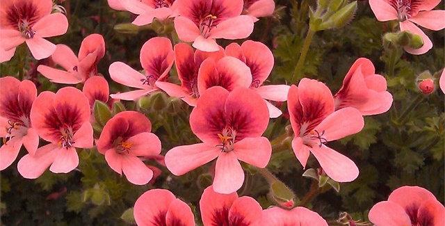 Pelargonium ANGEL EYES - Geranium
