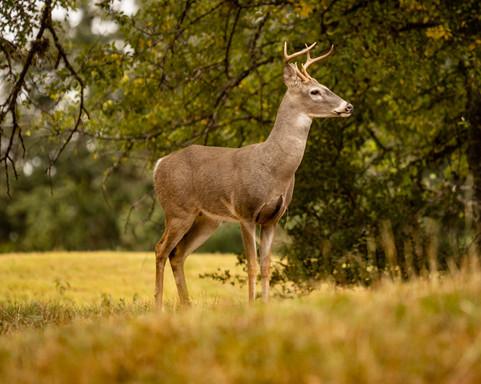A Deer Portrait