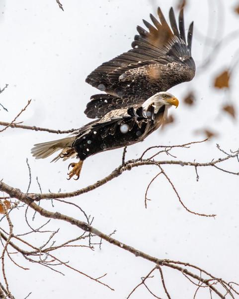 Snowflakes and Bald Eagle