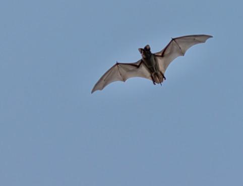 A Bat in Blanco Texas