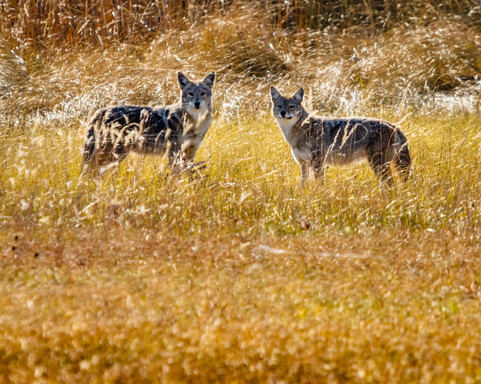 Double Trouble Coyotes