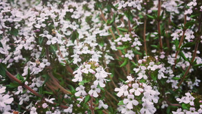What's Up in the Garden - Thyme